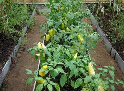 Благодаря правильному уходу можно существенно улучшить качество и количество урожая в теплице