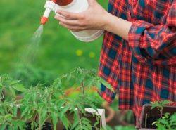 Неправильный уход за помидорами может привести к появлению фитофторы на растениях