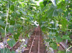 Температура в 30°C является критичной при выращивании огурцов в теплице