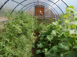 Некоторые растения хорошо уживаются в одной теплице, что позволяет получить ранний и разнообразный урожай