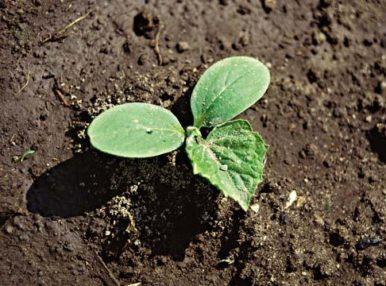 Если вы впервые выращиваете огурцы в теплице, тогда лучше сперва тщательно ознакомиться со всеми нюансами этого процесса