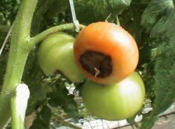 Появление пятен на помидорах обуславливается болезнями и неправильным уходом
