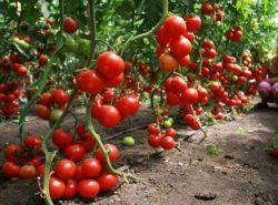 Климат в Московской области отлично подходит для выращивания большинства сортов помидоров