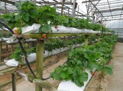 Выращивать клубнику в теплице можно как на продажу, так и для собственного употребления