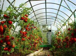 Средние помидоры могут легко выращивать не только опытные овощеводы, но и новички