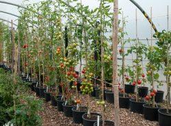 Высокорослые томаты рекомендуется выращивать в больших теплицах