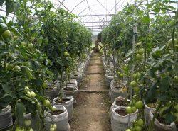 Перед тем как приступить к выращиванию помидоров в теплице, стоит изучить советы специалистов и посмотреть обучающее видео