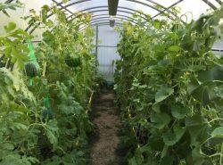 Для того чтобы получить обильный, хороший урожай арбузов, необходимо четко придерживаться условий выращивания, которые отличаются крайней простотой