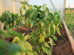 Выполняя регулярно подкормку перцев в теплице, можно улучшить их вкусовые качества и внешний вид