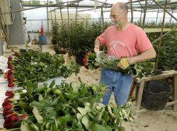 Если позаботиться об адекватном бизнес-плане, то выращивание роз в теплице на продажу станет хорошим источником прибыли