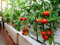Селекционеры вывели сорта декоративных, в то же время плодоносящих помидор, подходящих для выращивания в стесненных условиях балкона