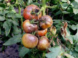 Фитофтороза в теплице из поликарбоната может уничтожить весь урожай