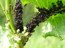 С помощью различных химических препаратов и народных методов можно избавиться от муравьев в теплице