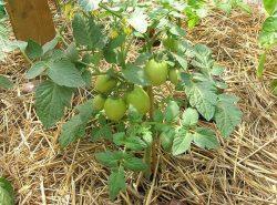 При выращивании помидоров в теплице очень важно обеспечить огородной культуре максимально комфортные условия для роста и развития.