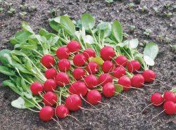 Ранний редис в теплице можно выращивать уже в марте