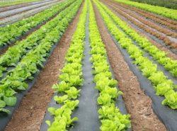 Салат Айсберг можно выращивать в отапливаемой теплице круглый год