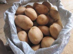 Картофель сорта Удача.